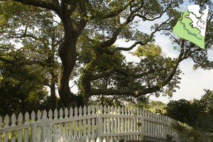 Maritime Forest White Picket Fence with Tree
