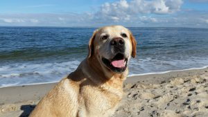 Labrador Smiling on Beach