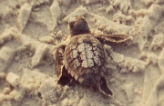 BHI Conservancy - Baby Turtle from Above