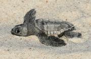 BHI Conservancy - Turtle Up Close